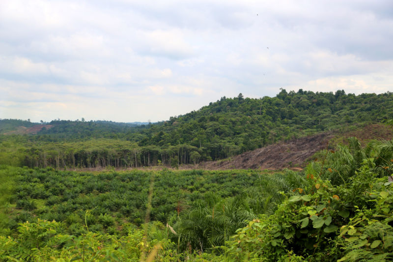 Forest being cleared for palm oil cultivation.