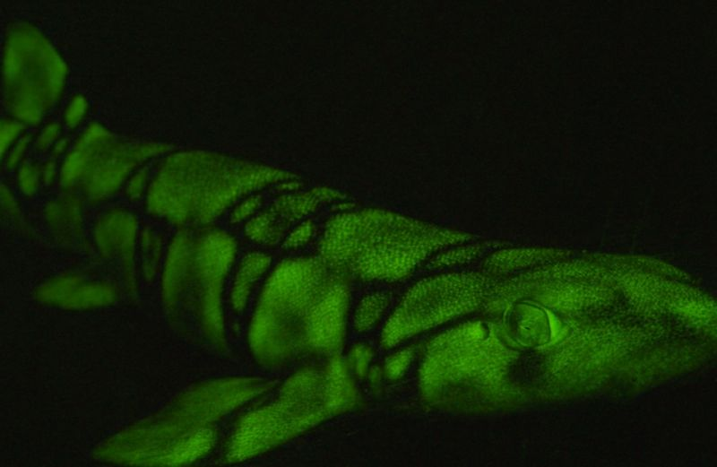 The lighter areas on the skin of this chain cat shark contain a special molecule that absorbs the ocean's blue light and turns it into green light.
