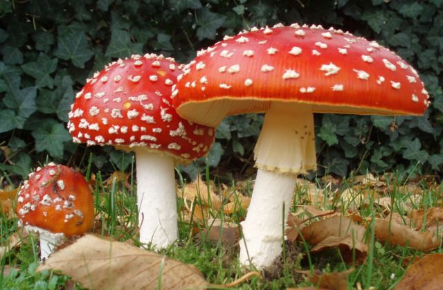 The mushroom <em>Amanita muscaria</em> is known to have hallucinogenic properties.