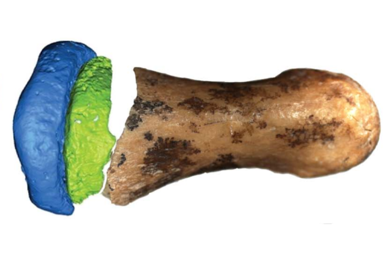 Composite image of a photo of part of a finger bone and a digital model of the rest, on a white background.