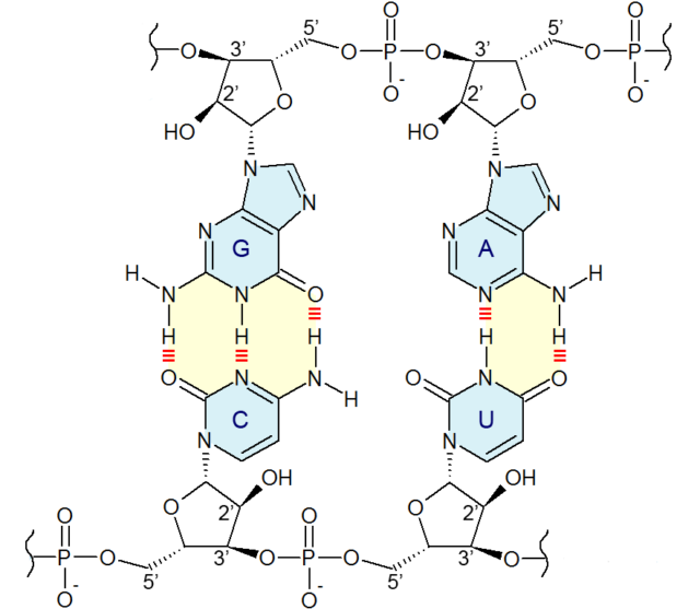 The four bases of RNA, showing the two- and one-ringed structures.