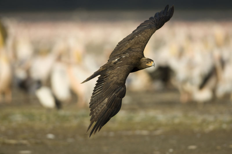 A bird of prey flies across a blurred landscape.