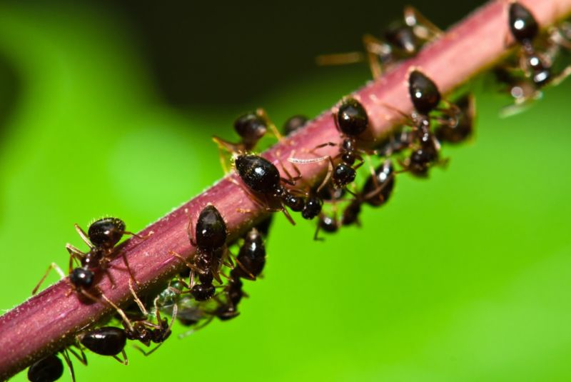 Closeup photograph of ants clogging a stem.