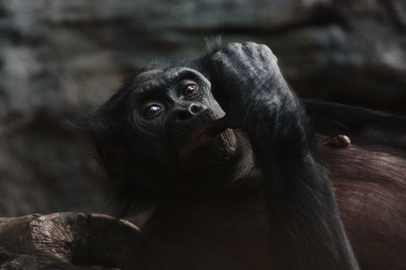 Great apes pass a false-belief test, hinting at a theory of mind