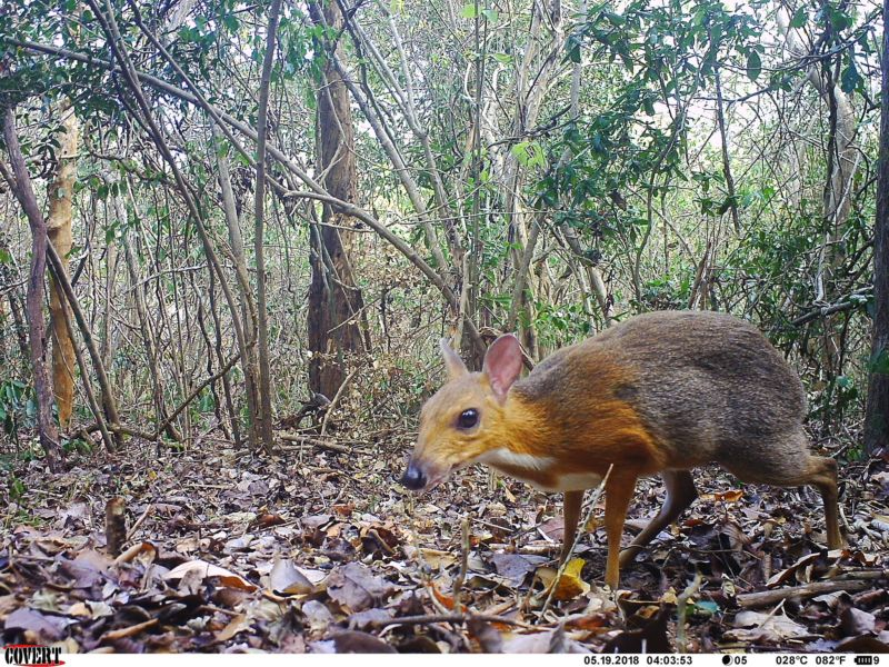 Camera-trap photo of silver-backed chevrotain (Tragulus versicolor).
