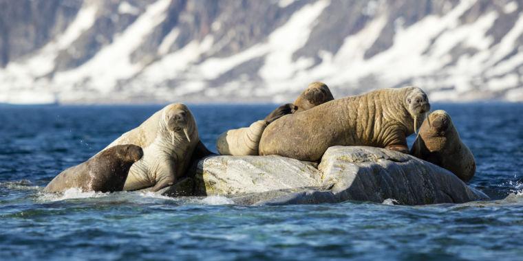 Vikings killed off Iceland's walruses