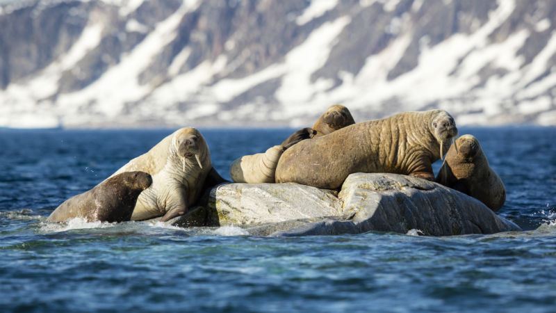 Vikings killed off Iceland's walruses