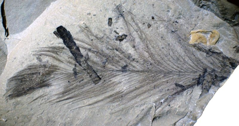 Image of a rock with a feather fossil that preserves many fine branches.