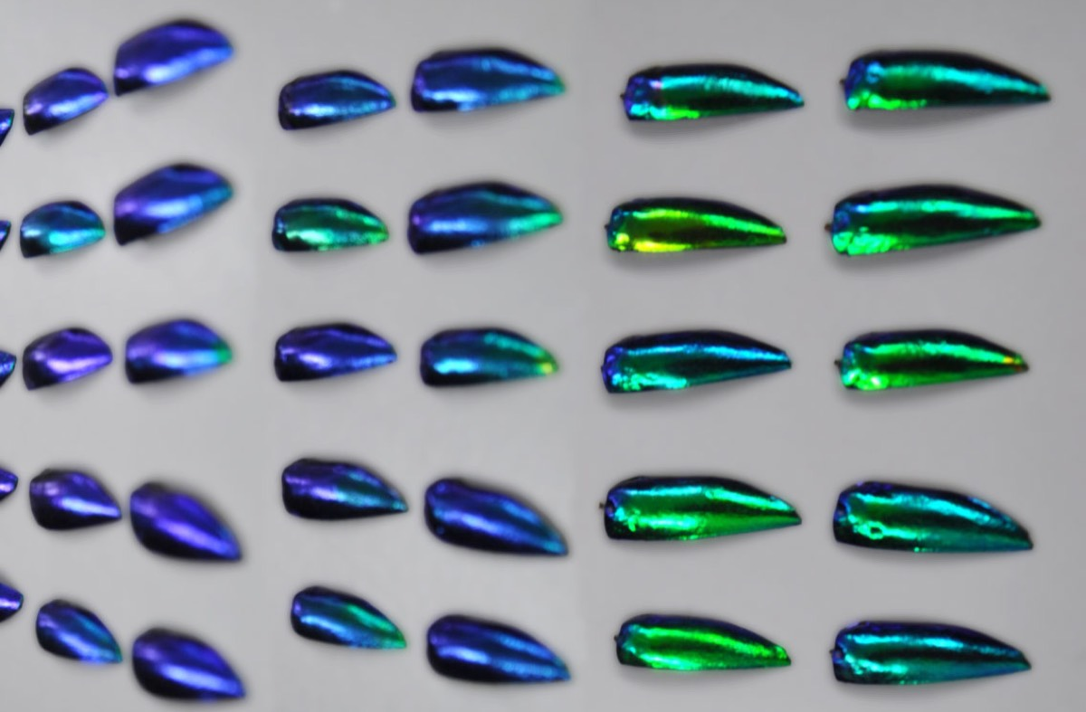 The angle-dependent change in colors of the iridescent jewel beetle's wing case.