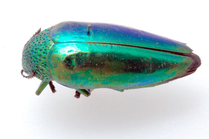 The brightly colored shell of this jewel beetle is a surprisingly effective form of camouflage, according to a new study by scientists at the University of Bristol.