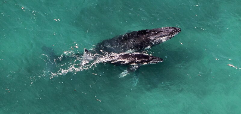 A humpback whale and calf.