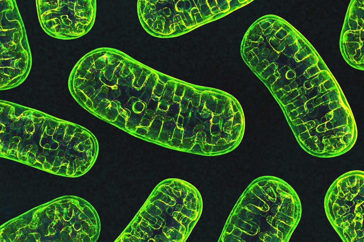 「mitocondrion free」の画像検索結果