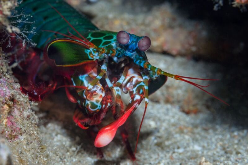 A rainbow-colored shrimp prowls on the seafloor.