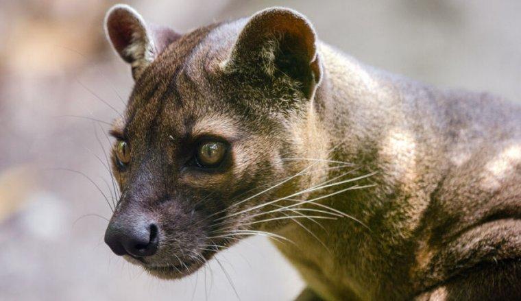 Foto do close up de um gato selvagem atento.