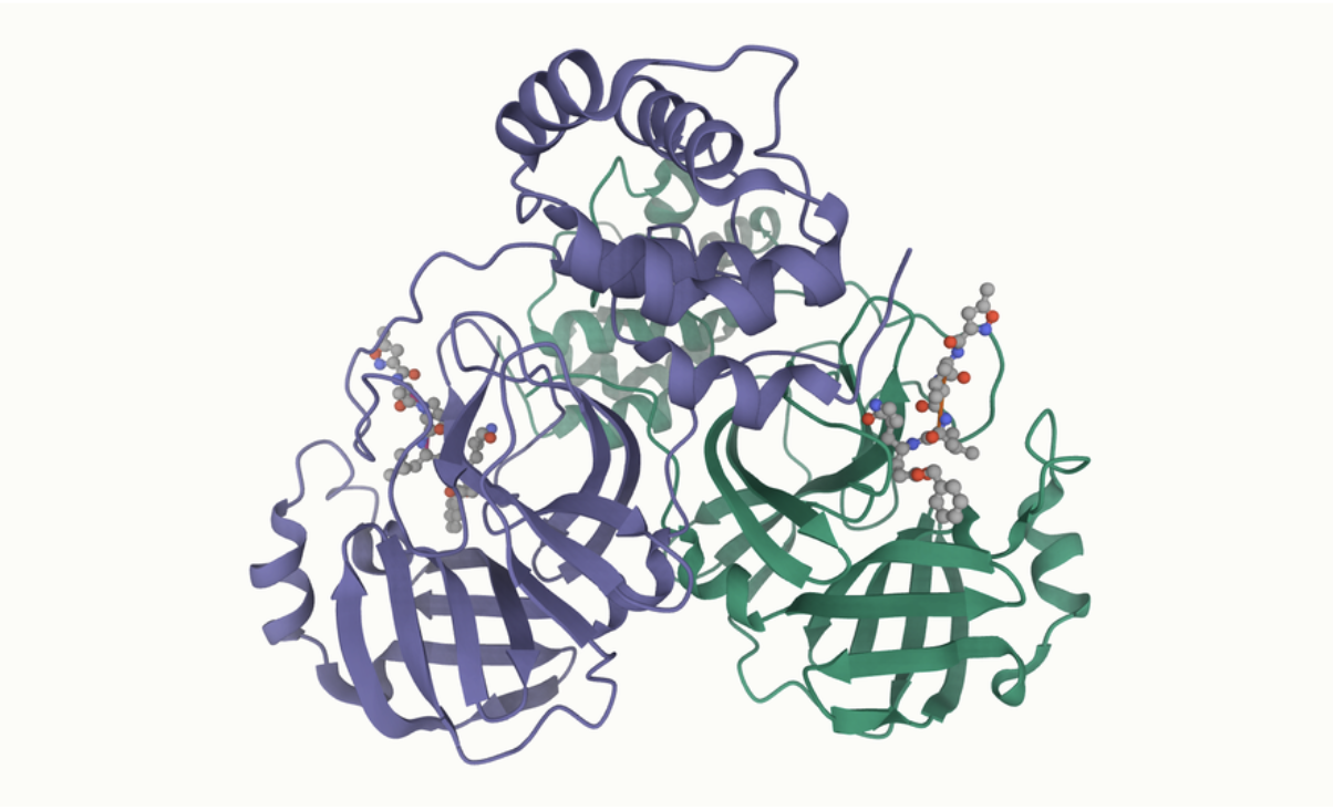 The structure of a coronavirus protease.