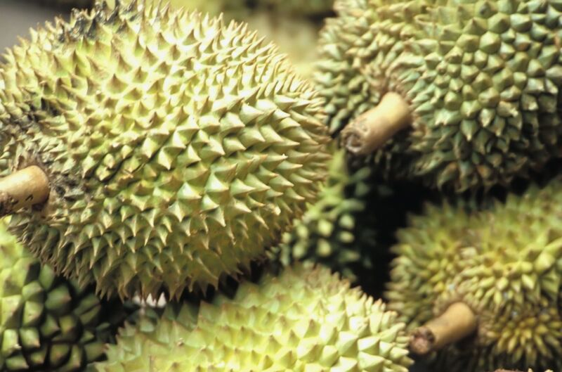 """Widely known and revered in Southeast Asia as the """"king of fruits,"""" the durian is distinctive for its large size, strong odor (often compared to rotten onions, raw sewage, or turpentine), and formidable thorn-covered husk."""