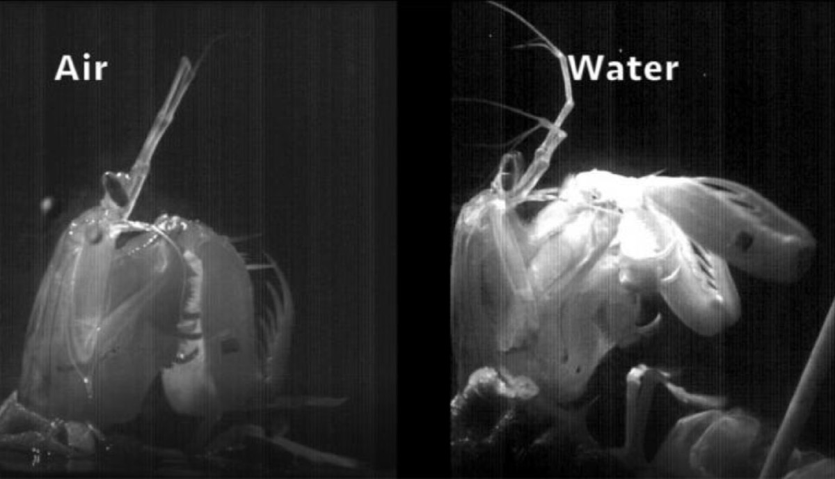 Mantis shrimp firing their hammer blows in the air and in water.