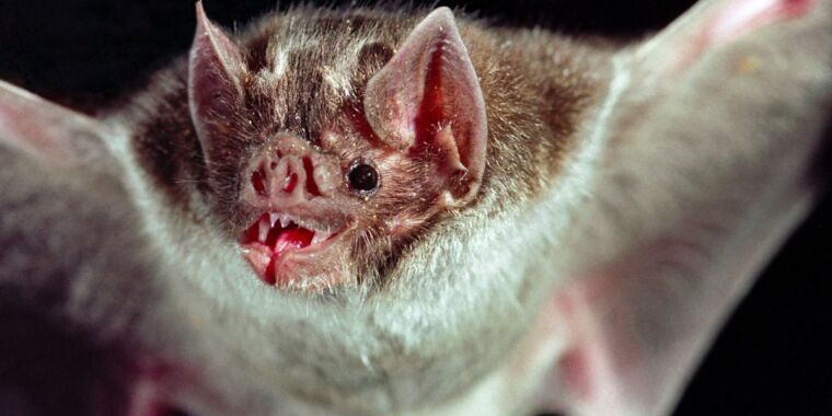 Vampire bats bond by grooming first to build trust before sharing blood