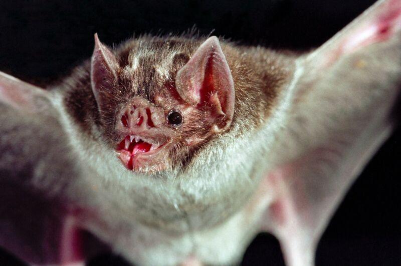 A vampire bat in flight with spread wings.