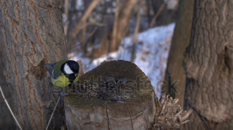 """A screenshot from a shutterstock video of a tit. Bing linked to the video with the caption """"big tits stock video footage."""""""