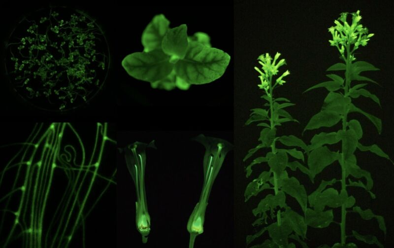 Collage of images of glowing green plant parts.