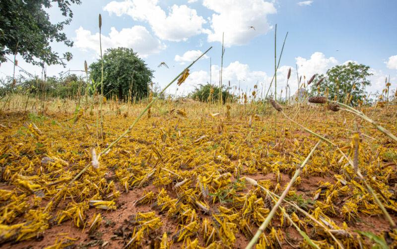 NAIROBI, Feb. 21, 2020—A swarm of desert locusts invade parts of Mwingi Town in Kitui County, Kenya, Feb. 20, 2020.