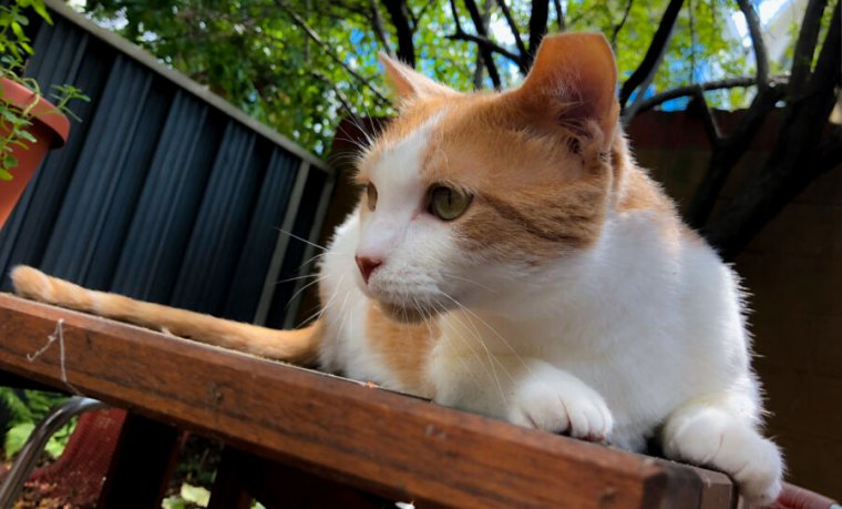Coronavirus and cats: Do you need to social-distance from Fluffy?   Ars  Technica