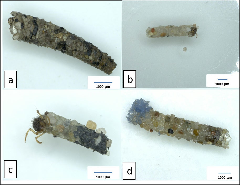Some examples of caddis fly cases. Image A was collected from the wild, and B was built from sand by a larva in the lab. In image C, the larva has incorporated black PVC particles. And in D, it's blue PET particles.