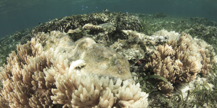 Could lab-evolved algae help save some corals from bleaching?