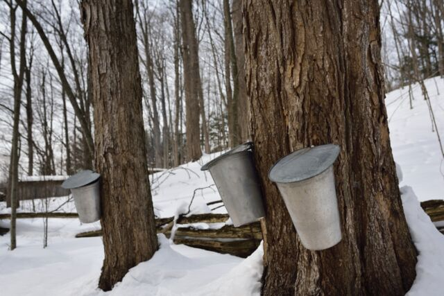 Buckets on old-sugar maple trees in an Ontario forest collect sap for syrup.