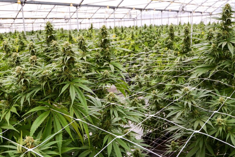 Life is strict and regimented for these industrial cannabis plants.