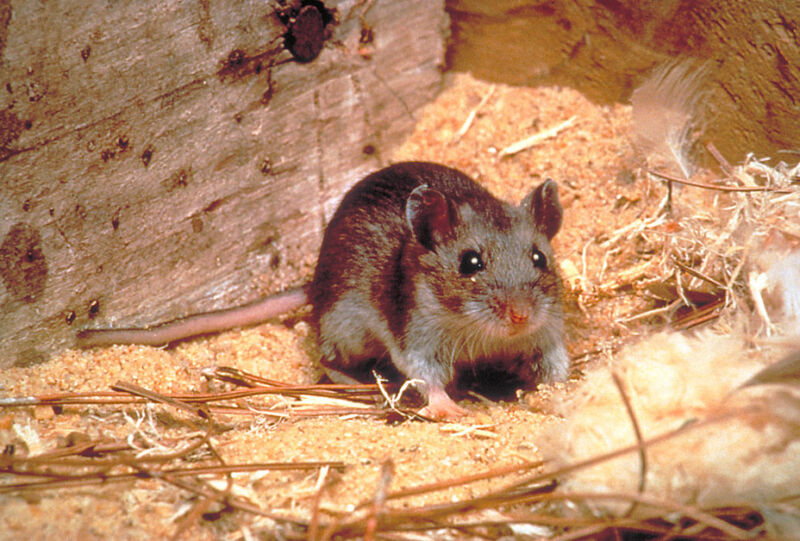 Image of a mouse.