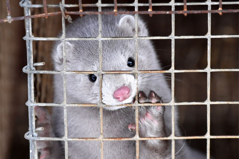 A mink puts his paw on his cage.