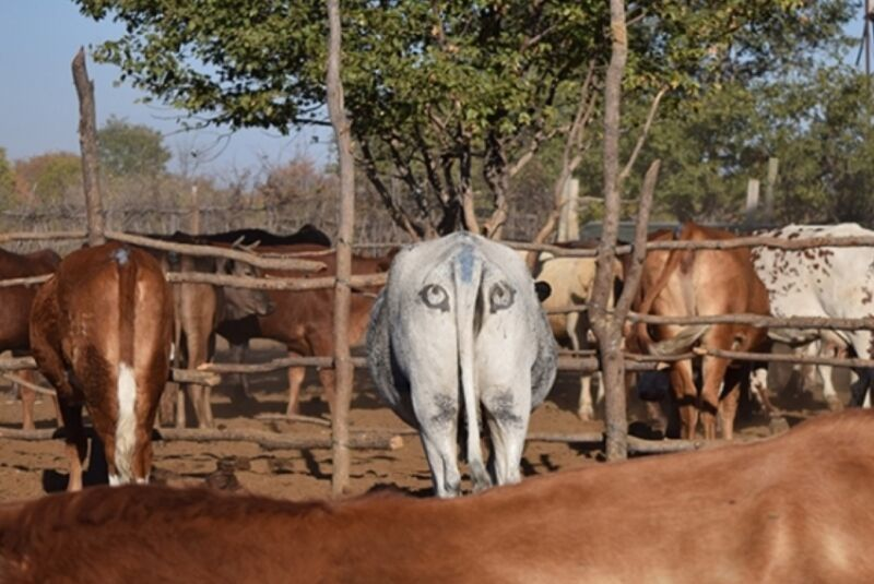 Study confirms that painting eyes on cow butts helps ward off predators