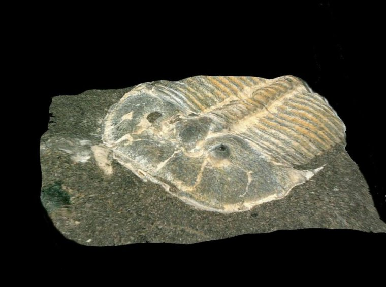 Fossil of a prehistoric arthropod.