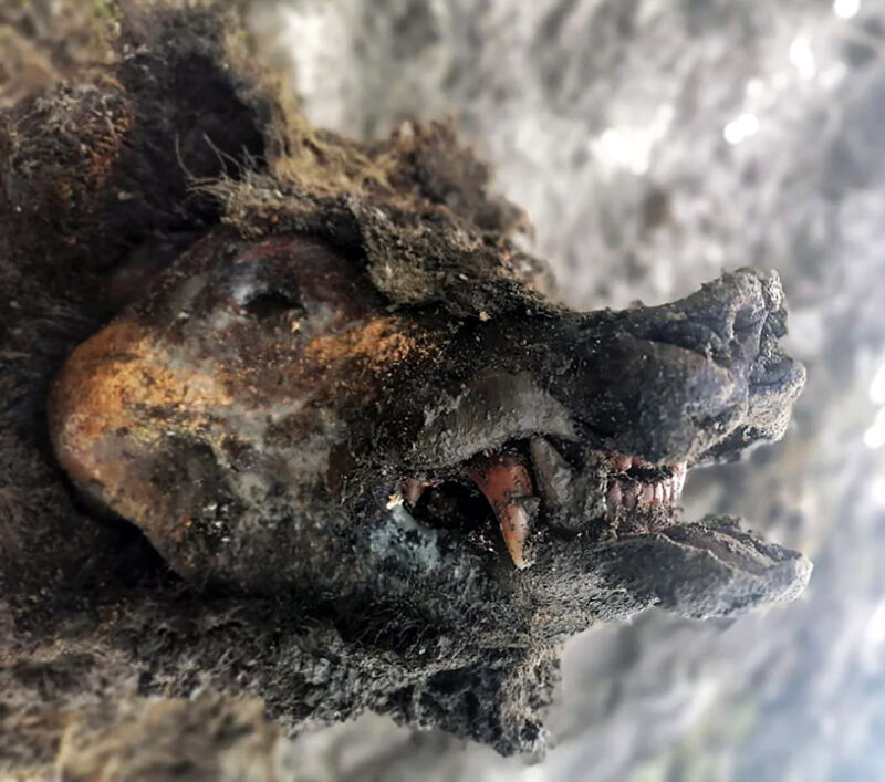color photo showing frozen cave bear head in profile