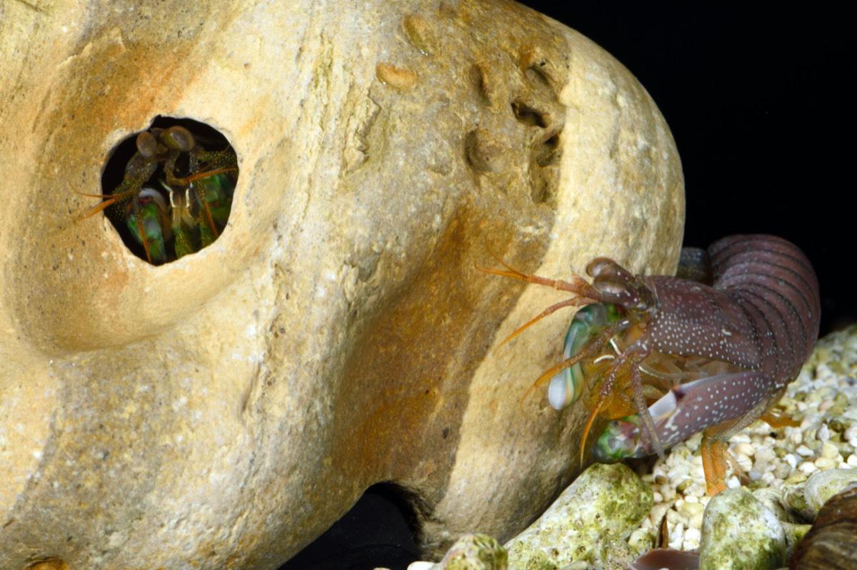 An intruder potentially assessing a burrow.