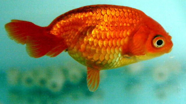 An egg goldfish, which largely lacks a dorsal fin.
