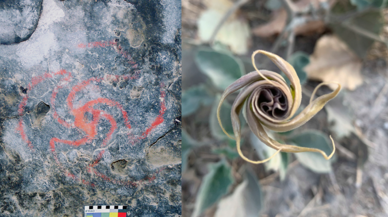 This red pinwheel image (left), which is around 500 years old, may depict the unfurling petals of a datura flower (right).