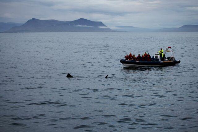 The distinctive dorsal fin of a basking shark off the coast of Denmark.