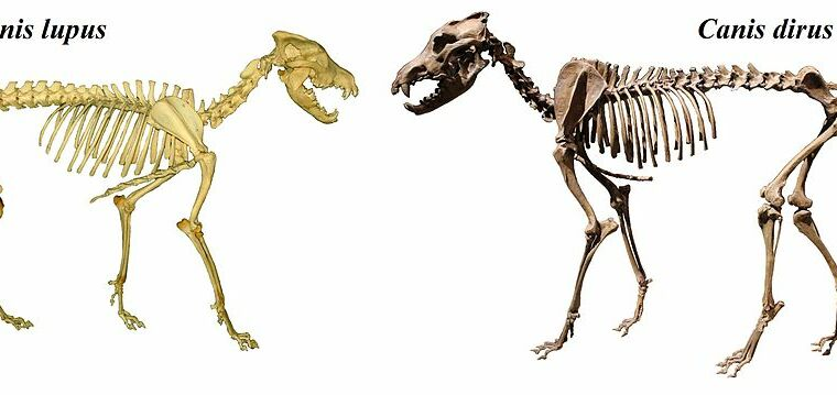Dire wolves aren't wolves at all—they form a distinct lineage with jackals – Ars Technica