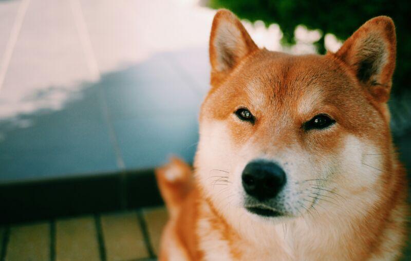 Close-Up Of Brown Shiba Inu