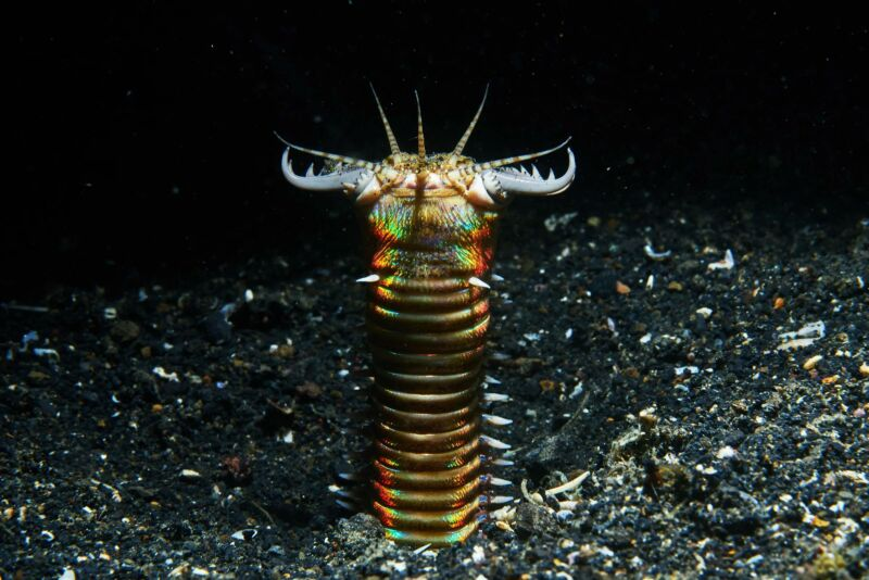 The head of a gruesome yet colorful worm projects from the seafloor.