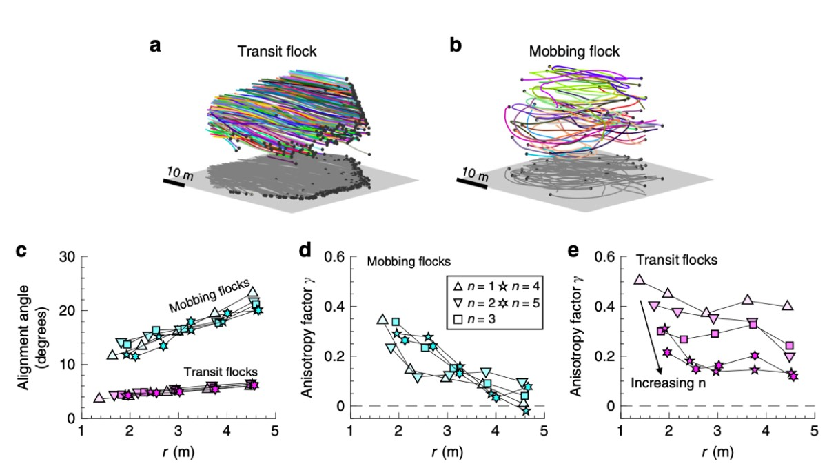 Self-propelled particle model captures the phase transition in mobbing jackdaw flocks.