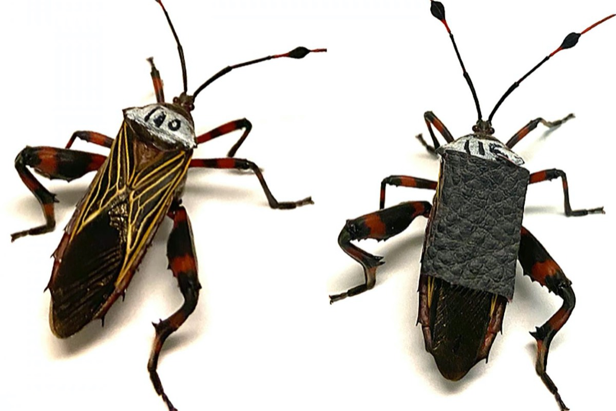 To study the damage inflicted during wrestling matches between male giant mesquite bugs, the researchers outfitted some of them with body armor consisting of patches of faux leather glued onto their backs.
