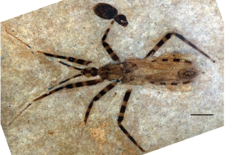 """This poor fossilized assassin bug's tiny penis is being closely scrutinized by paleontologists who consider the find """"a rare treat""""—because it has been so extraordinarily preserved."""