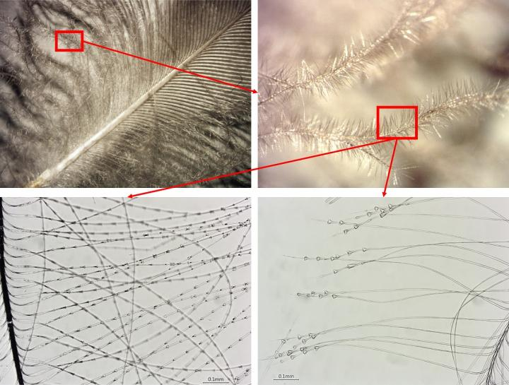 Close-up photos of two feathers (top) and microscopic images of their structure (bottom)