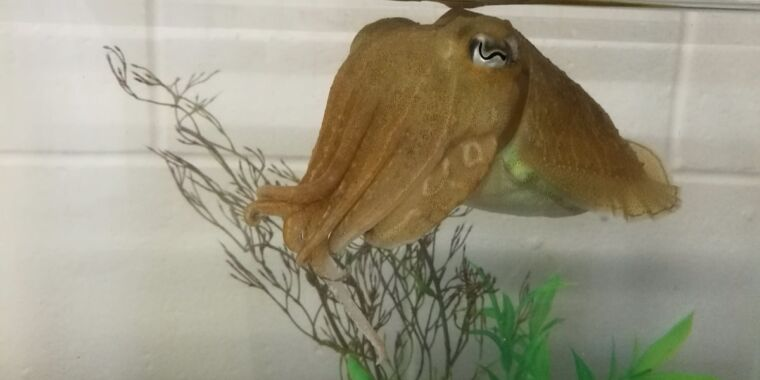 Cuttlefish can pass the marshmallow test - Ars Technica