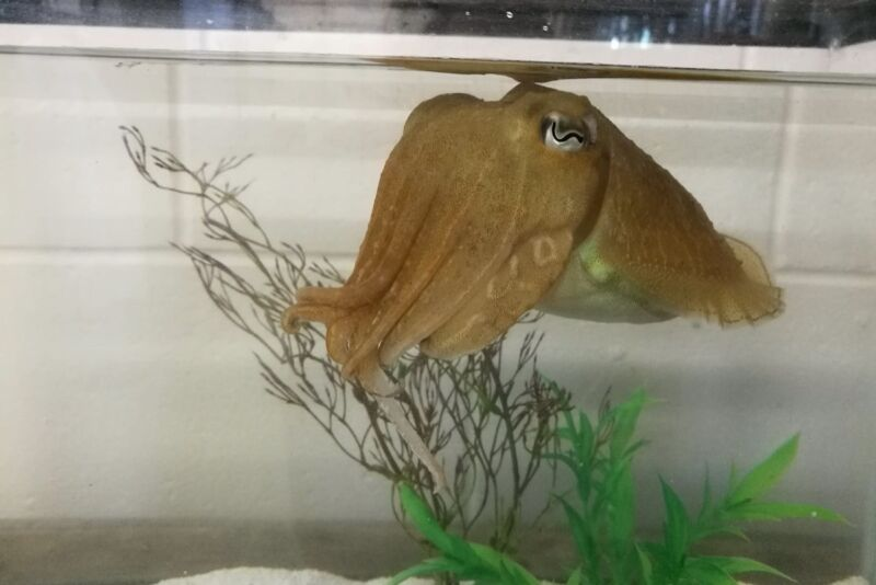 An aquatic invertebrate similar to a squid floats in an aquarium.
