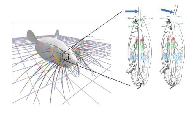 Mecanica este cheia simțului tactil.  Când este deviat longitudinal, apariția deformării intra-foliculare determină activitatea diferitelor grupe de receptori mecanici.